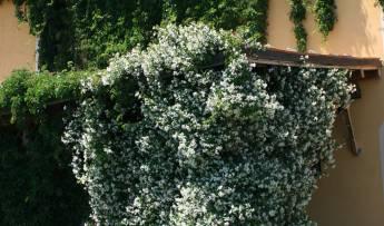 Le Magnolie